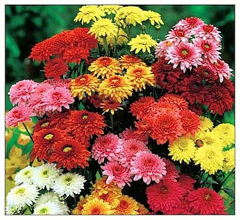 chrysantheme[1].jpg